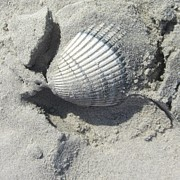 Sea Shell Metal Prints - Shell in Sand Metal Print by Cathy Lindsey