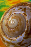 Shell Texture Framed Prints - Shell spiral Framed Print by Garry Gay