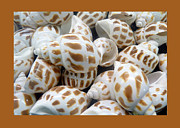 Tallahassee Prints - Shells - 7 Print by Carla Parris