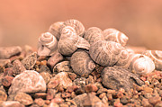 Bokhe Photos - Shells in a pile by Tommy Hammarsten