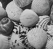 Shells In Black And White Print by Mary Bedy