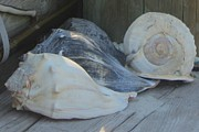 Ocean Prints - Shells of Portsmouth Island Print by Cathy Lindsey