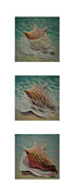 Seashell Picture Metal Prints - Shells Triptych 2 Metal Print by Don Young