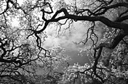 Oak Trees Prints - Sheltering Sky II Print by Laurie Search