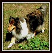 Lassie Posters - Sheltie and her Shadow Poster by Gail Matthews
