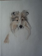 Border Collie Drawing Posters - Sheltie Poster by Image Source