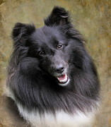 Miniature Photos - Sheltie Princess by Angie Vogel