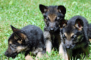 Brown Dogs Photos - Shepherd Pups 12 by Aimee L Maher