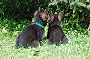 Brown Dogs Photos - Shepherd Pups 15 by Aimee L Maher