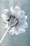 Backgrounds Metal Prints - Sheradised Primula Metal Print by John Edwards
