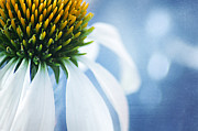 Cone Flower Digital Art Posters - Shes a little Blue Poster by Darren Fisher