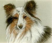 White Dogs Pastels Framed Prints - Shetland Collie Framed Print by Jan Amiss