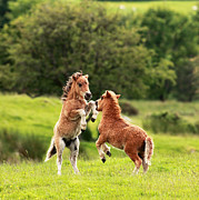 Photo Scotland - Shetland Pony
