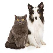 Shetland Sheepdog And Gray Cat Print by Susan  Schmitz