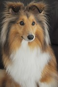 Janine Robertson - Shetland Sheepdog