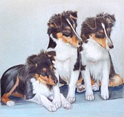 Ruth Seal - Shetland Sheepdog Puppies