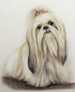 Fur Drawings Framed Prints - Shih Tzu Framed Print by Lena Auxier
