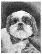 Custom Pet Drawing Prints - Shih Tzu Portrait Print by Diane Bay