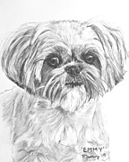 Pup Drawings Framed Prints - Shih Tzu Portrait in Charcoal Framed Print by Kate Sumners