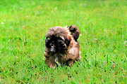 Loyal Framed Prints - Shih Tzu Puppy Framed Print by Darren Fisher