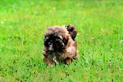 Shih Tzu Puppy Print by Darren Fisher