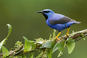 Juan Carlos Vindas Metal Prints - Shining Honeycreeper Metal Print by Juan Carlos Vindas