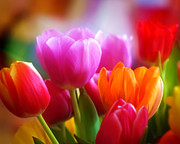 Featured Photos - Shining Tulips by Lutz Baar