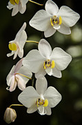 Shinning Orchids Print by Penny Lisowski