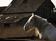 Grey Horse Photos - Shire Horse by Angel  Tarantella