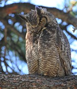 Great Horned Owl Framed Prints - Shoo Framed Print by Shane Bechler