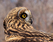 Kae Cheatham Framed Prints - Short-eared Owl 1 Framed Print by Kae Cheatham