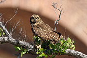 Dry Tortugas Framed Prints - Short-eared Owl Framed Print by Bob Richter