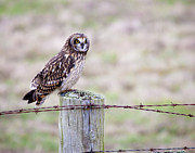 Eared Prints - Short Eared Owl Boundary Bay Print by Chris Dutton