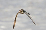 Strigidae Framed Prints - Short-eared Owl Flying II Framed Print by Clarence Holmes