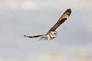 Strigidae Framed Prints - Short-eared Owl Flying III Framed Print by Clarence Holmes