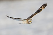 Strigidae Prints - Short-eared Owl Flying IV Print by Clarence Holmes