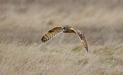 Kathy King - Short-Eared Owl in flight