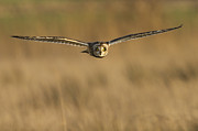 Kirk Norbury - Short Eared Owl