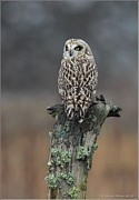 Owl Pyrography Metal Prints - Short Eared owl Perched Metal Print by Daniel Behm