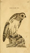 Audubon Drawings Posters - Short-Eared Owl Poster by Philip Ralley