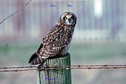 Ed Nicholles Acrylic Prints - Short-eared Owl Post Acrylic Print by Ed Nicholles