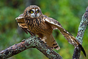 Rodney Campbell - Short Eared Owl
