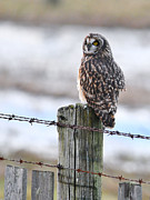 Eared Prints - Short eared Owl Print by Sharon  Talson