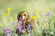 Short-eared Owl Print by Thomas and Pat Leeson