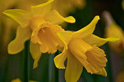 Amaryllidaceae Prints - Shout Out of Spring Print by Roger Reeves  and Terrie Heslop