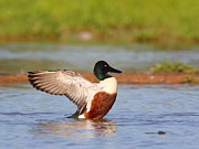 Ruth Jolly - Shoveler Flap