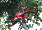 Parrots Photos - Show Off by Donna Blackhall