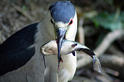 Heron Pyrography - Showing Off His Lunch by Shoal Hollingsworth