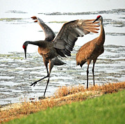 Sandhill Crane Posters - Showoff Poster by Carol Groenen