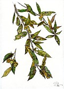 Oak Drawings Prints - Shrub Live Oak Print by Ardys Lurtsema